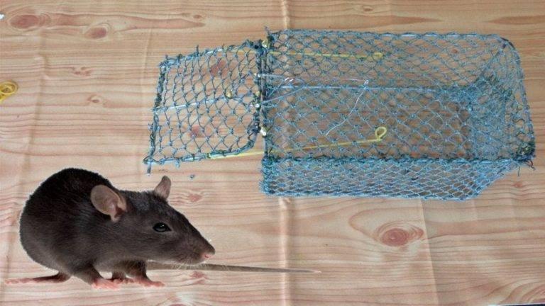 8 эффективных крысоловок, сделанных своими руками