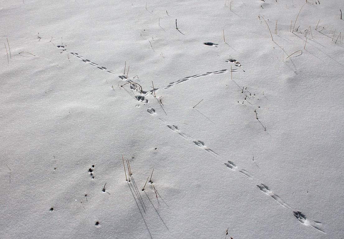 Формозов а.н. спутник следопыта. следы по снежной тропе. следы мелких зверьков - электронная биологическая библиотека