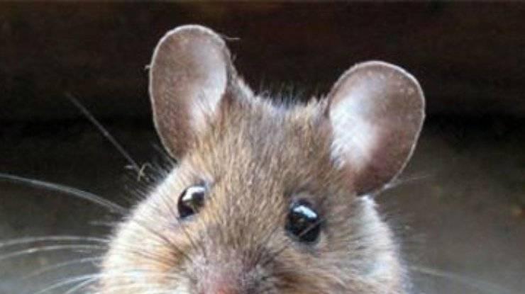 Музофобия или боязнь мышей: проявление и способы лечения