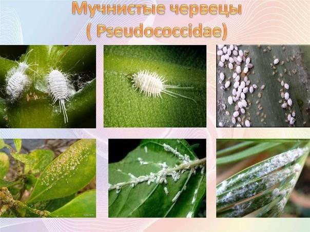 Мучнистый червец на комнатных растениях (16 фото): как бороться в домашних условиях? выбираем лечение и средство, которое позволит избавиться от мучнистого червеца