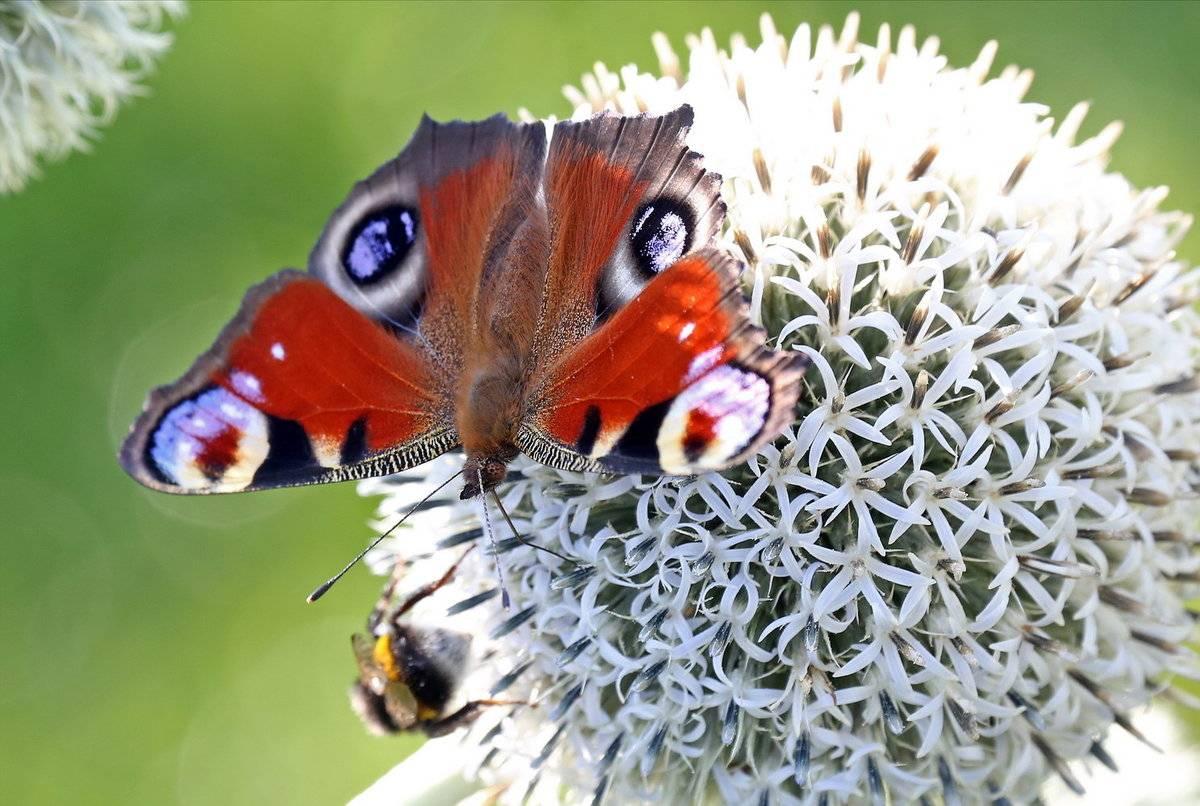 Где спят насекомые зимой. как зимует бабочка павлиний глаз: раскрываем секреты насекомого