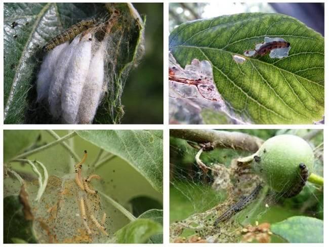 Как эффективно бороться с яблоневой молью своими руками - методы и средства