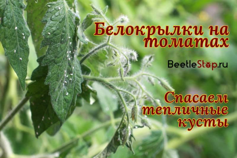 Белокрылка на помидорах: как избавиться от нее в теплице, чем обработать