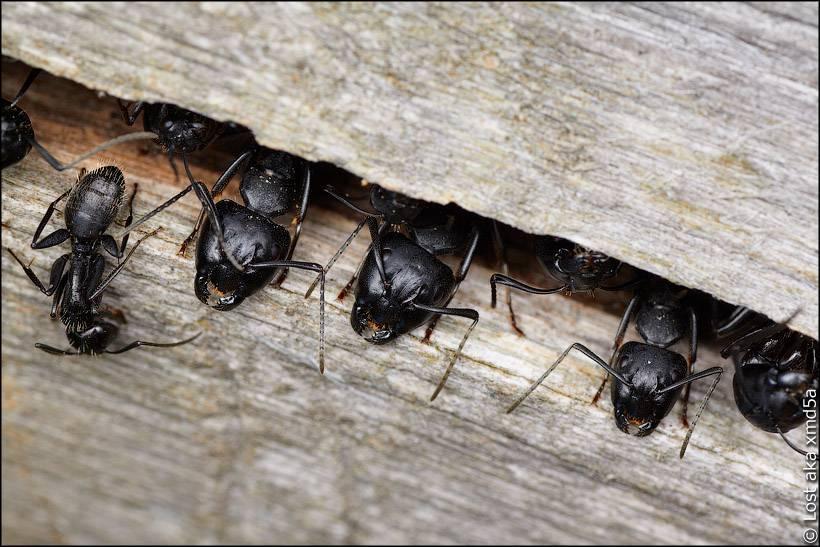 Черный муравей древоточец: как избавится от агрессивного насекомого