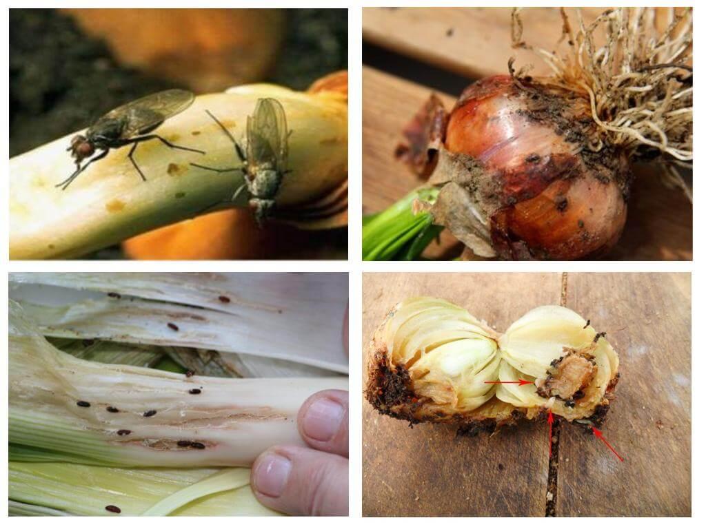 Как избавиться от луковой мошки
