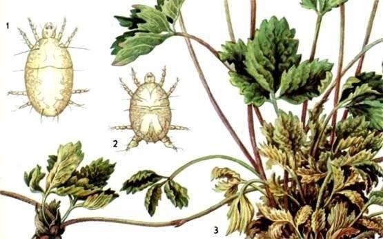 Меры борьбы с паутинным, цикламеновым, прозрачным клещом на клубнике