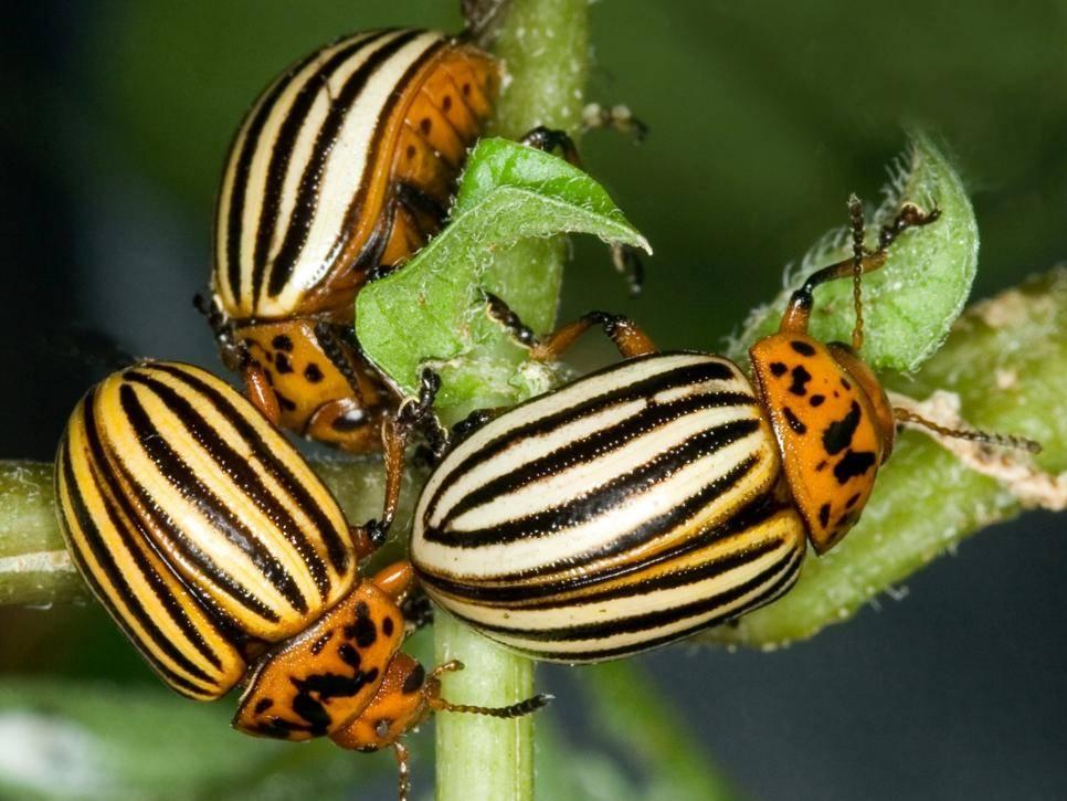 Колорадский жук: война, которую человечество бесславно проиграло... - колорадский жук, история, происхождение, цикл развития, меры борьбы