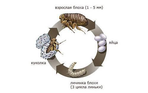 Яйца и личинки блох: жизненный цикл, как найти и уничтожить