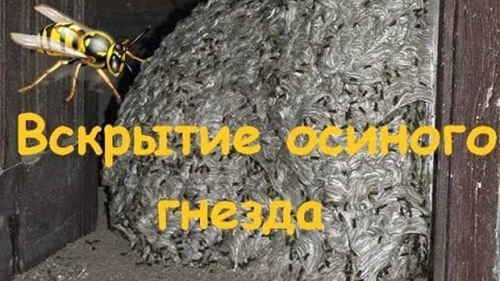 Как избавиться от осиного гнезда: простые и эффективные способы