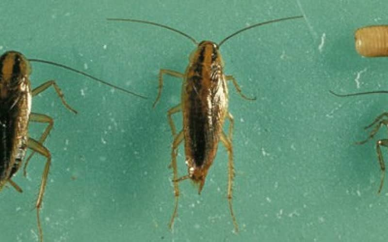 Как избавиться от черных тараканов в домашних условиях