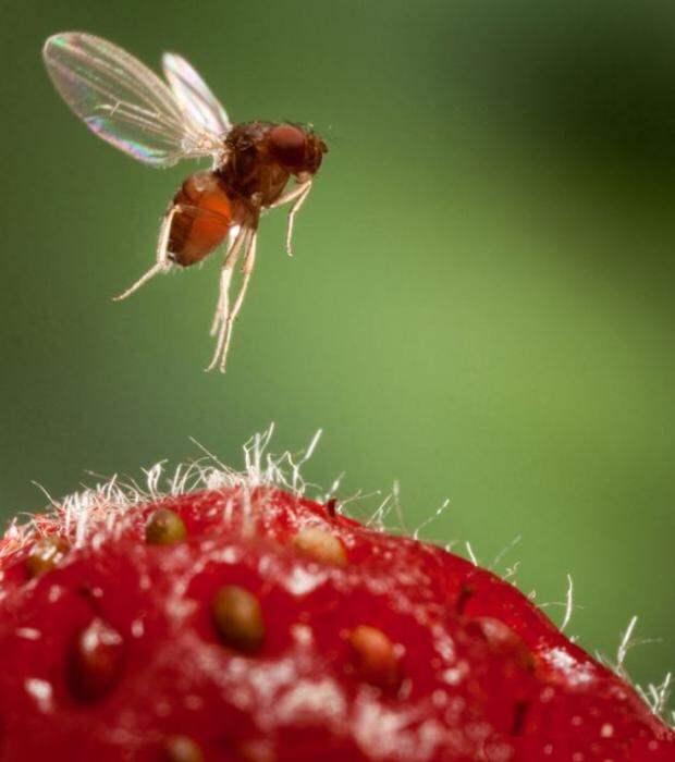 Сколько живет мошка, чем питается, как выглядят их личинки?
