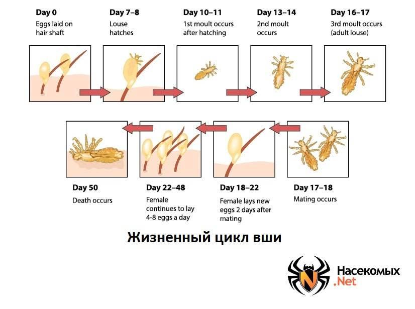 Как размножаются вши на голове у человека? жизненный цикл вшей и гнид: стадии развития педикулеза, размножение и образ жизни паразита