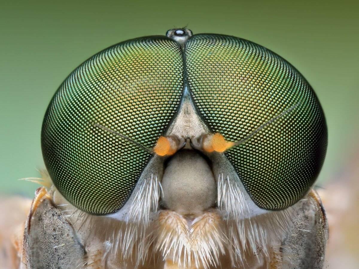 Как устроен глаз у мухи. сколько кадров в секунду видит муха и сколько у неё глаз. особенности зрительных способностей мух