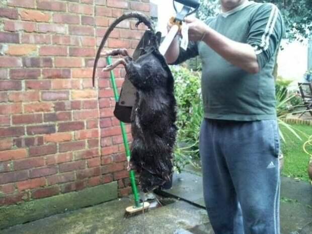 Самая гигантская крыса, насколько большой может быть (максимальный размер)?