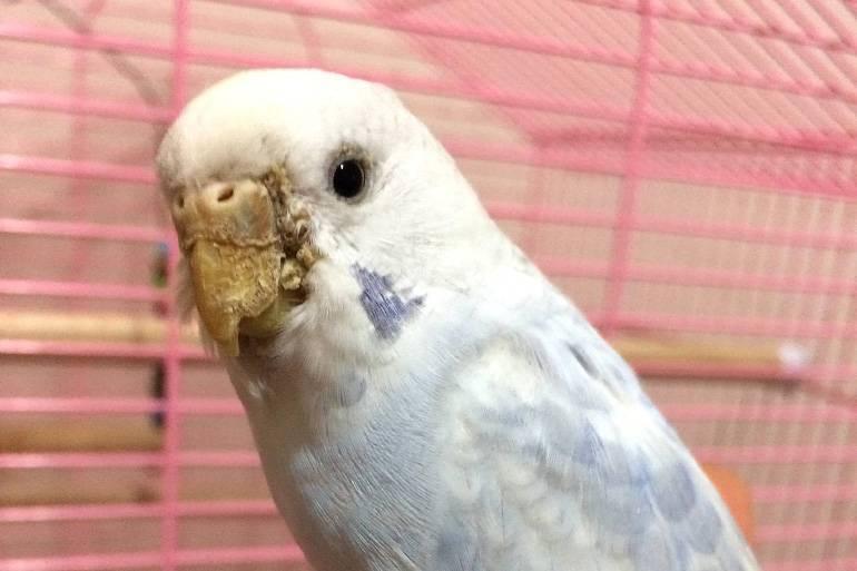 Признаки появления клеща у волнистого попугая