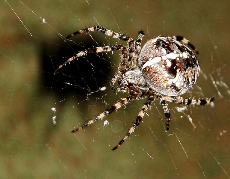 Опасное соседство— паук с крестом на спине
