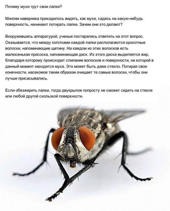Почему мухи потирают лапки. зачем муха потирает лапки?