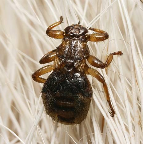 Чем опасна для человека лосиная муха (оленья кровососка) и как с ней бороться