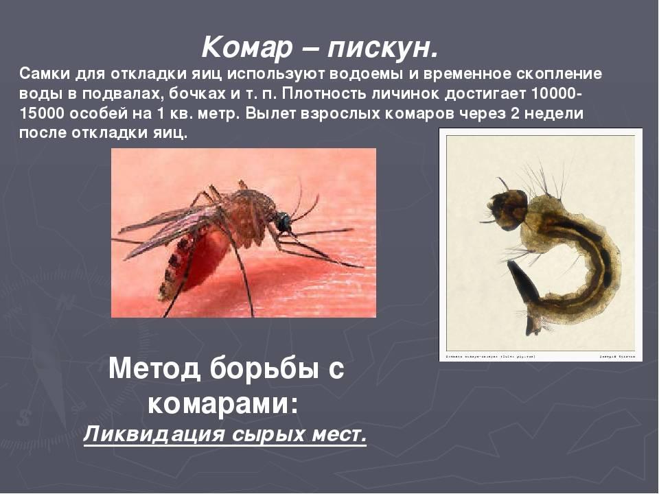 Комар-пискун – навязчивое насекомое, мешающее спать по ночам. комар насекомое. образ жизни и среда обитания комара