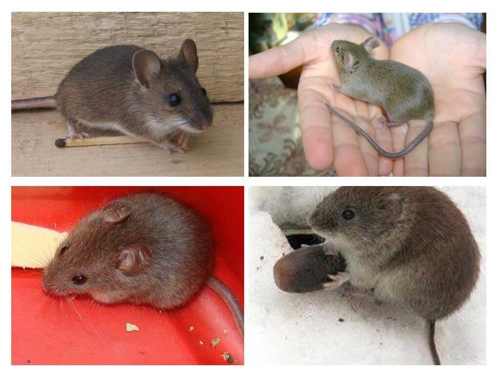 Иглистая мышь акомис - содержание и уход за иглистой мышкой