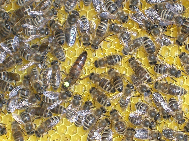 Карпатская порода пчел: отзывы пчеловодов, фото, особенности