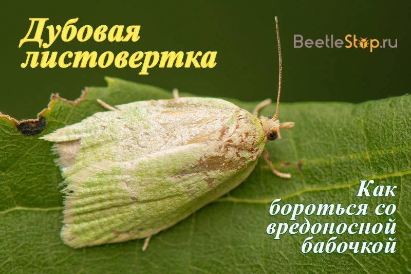 Дубовая листовертка – враг зеленых дубрав
