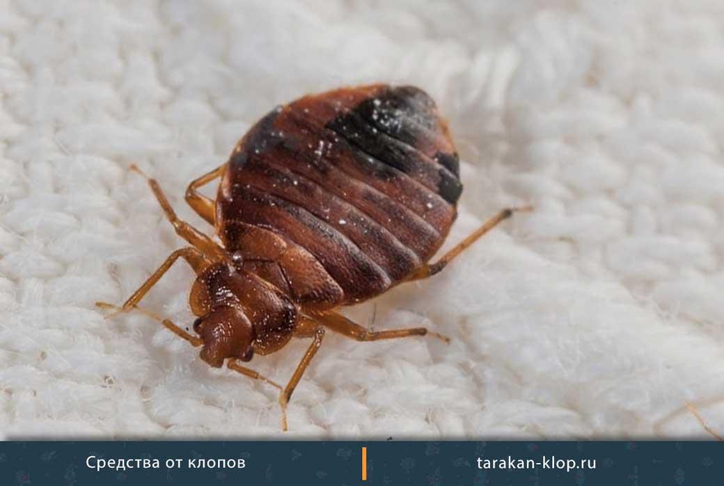 Боятся ли клопы (постельные) хлорки: помогает ли, как действует на насекомых, как использовать правильно