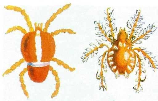Почвенный клещ – микроскопический союзник или враг?