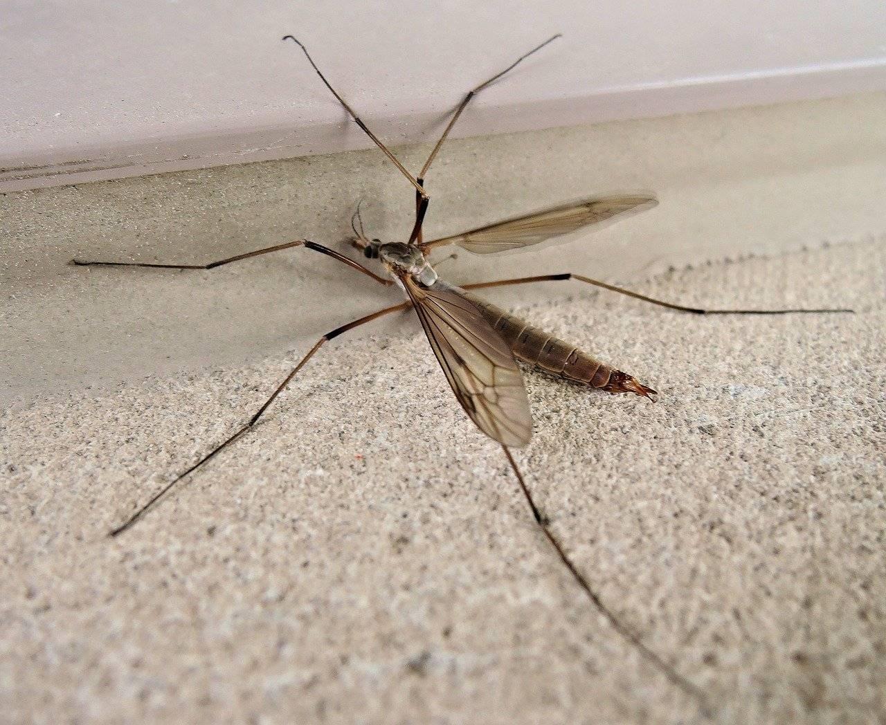 Самые любопытные виды комаров – опасные малыши и безвредные гиганты