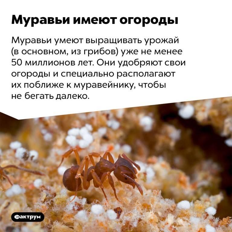 Сколько живут муравьи. продолжительность жизни муравьев