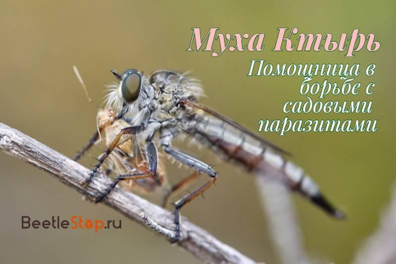 Навозная муха — грозный хищник и помощник человека