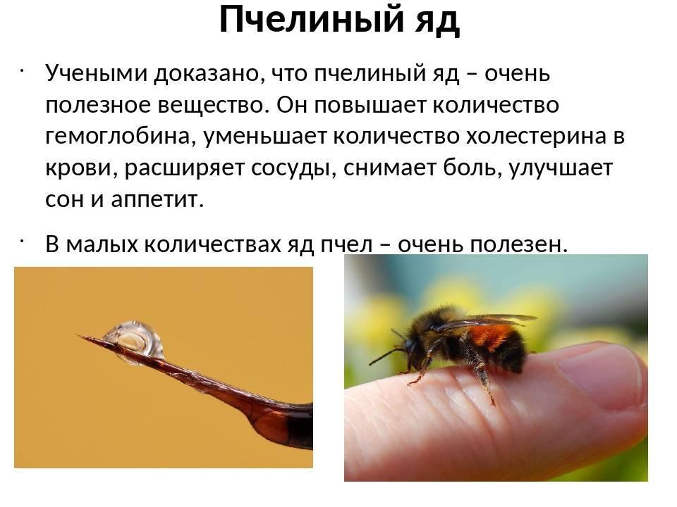 Пчелиный яд — лечение и свойства