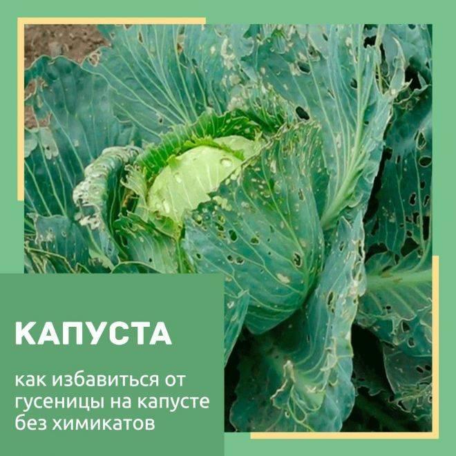 Только народные средства против гусеницы на капусте