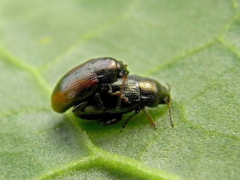 Свекловичная щитоноска: внешний вид и вред наносимый листоедом