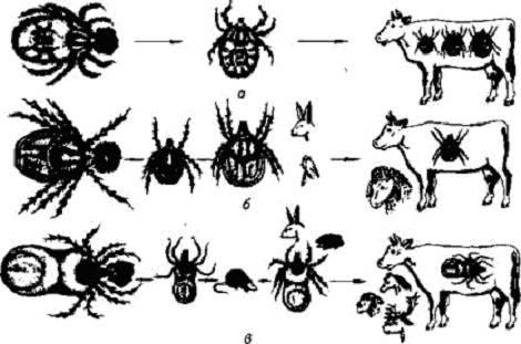 ❶ где живут клещи - в траве или на деревьях и в каких местах обитают энцефалитные клещи - ареал обитания