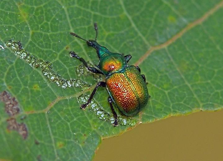 Жук усач насекомое. описание, особенности, виды, образ жизни и среда обитания жука усача | живность.ру
