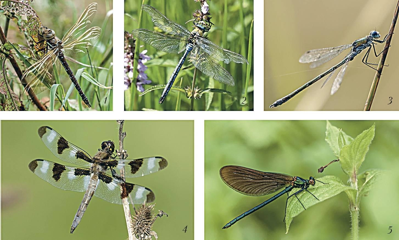 Лютка дриада: излюбленные места обитания и особенности поведения стрекозы