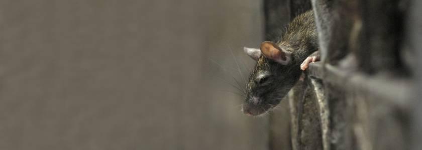 Могут ли крысы жить в стенах дома    живут ли крысы с мышами
