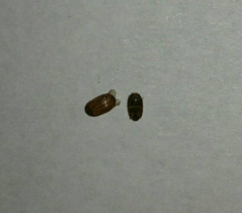 Жуки в доме, виды, вред, описание. какие жуки встречаются в деревянном доме