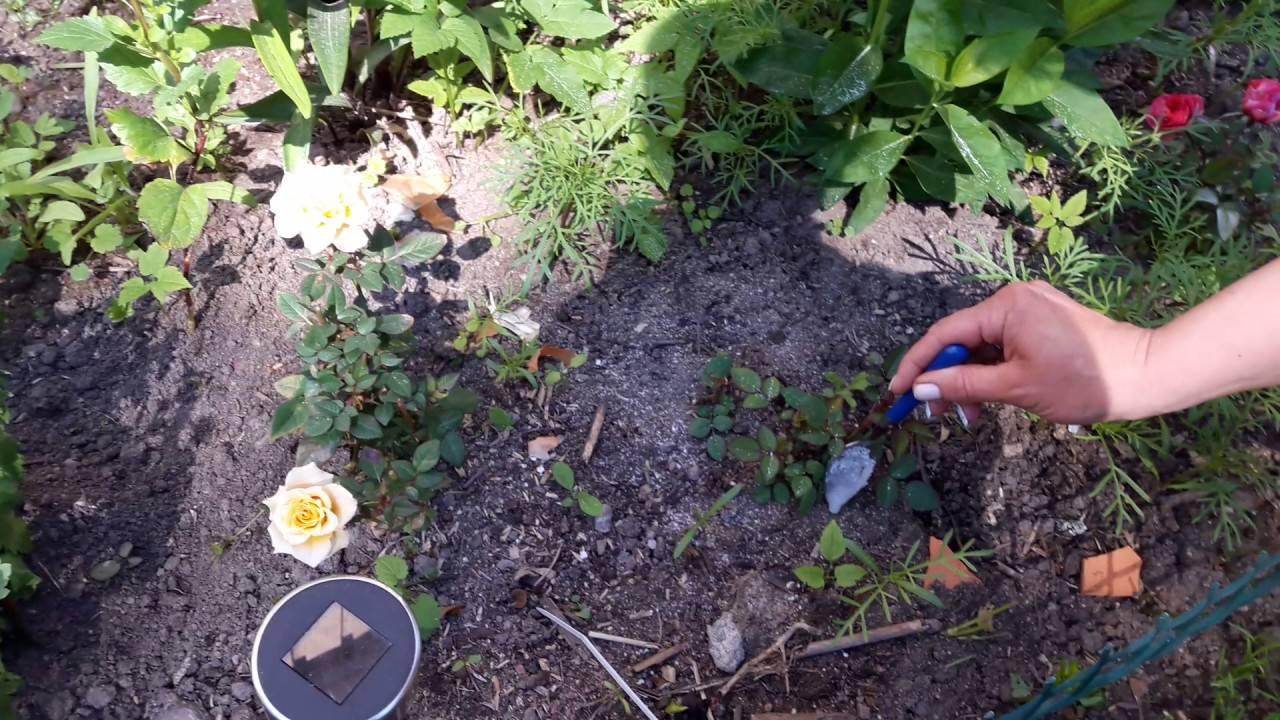 Борная кислота: применение на огороде и в саду для растений, как опрыскивать от муравьев, для клубники, томатов, огурцов, яблони, отзывы