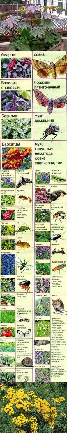 Растения от комаров - какие травы можно посадить в саду и дома растения от комаров - какие травы можно посадить в саду и дома