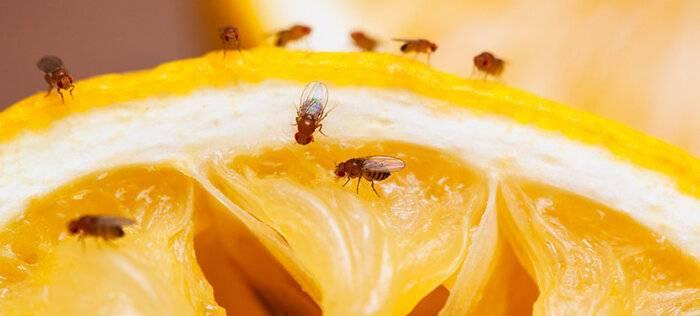 Откуда берутся мошки на фруктах: причины появления и меры борьбы