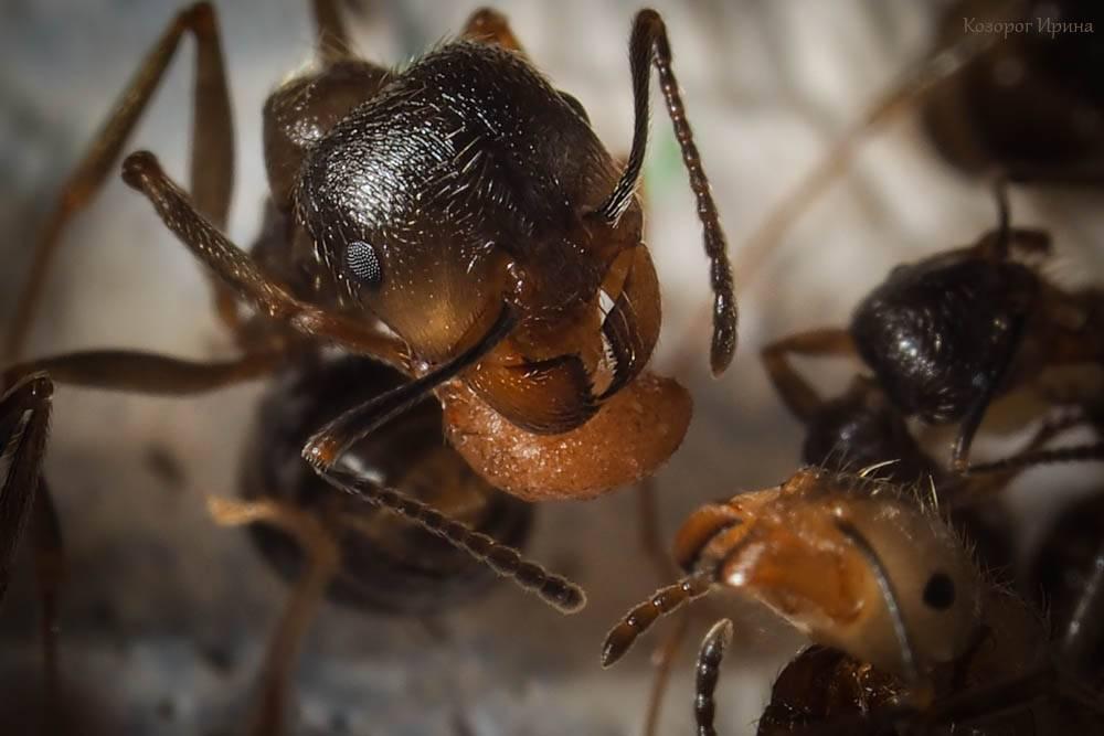 Муравьи-жнецы — википедия. что такое муравьи-жнецы