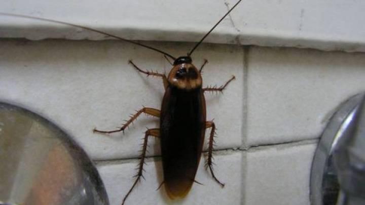 Куда исчезли тараканы из квартир и почему, может ли человек жить в местах их исчезновения?