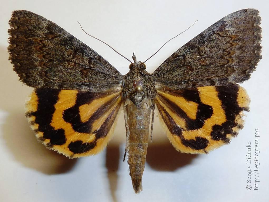 Бабочка репейница – интересные подробности жизни