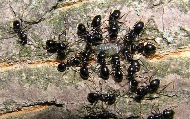 Черный муравей-древоточец (camponotus vagus): вредитель ли он?