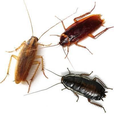 Виды тараканов: домашних и экзотических представителей