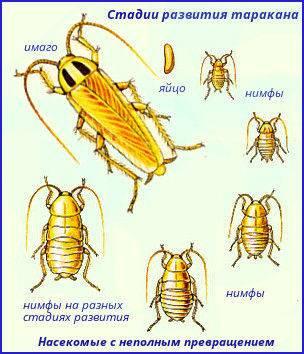 Сколько живут тараканы в экстремальных условиях без еды и воды