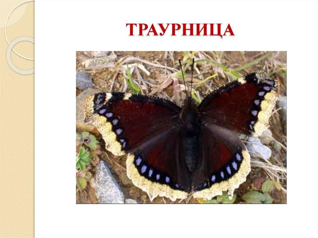 Бабочка ленточник - описание, среда обитания, виды