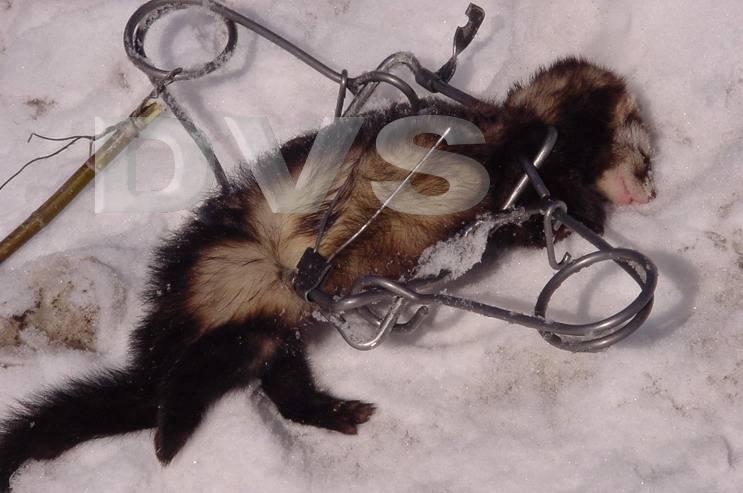 Кто душит кур: названия животных, особенности их охоты, причины и способы борьбы - truehunter.ru